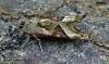 Angle Shades (Phlogophora meticulosa) 6 Copyright: Graham Ekins