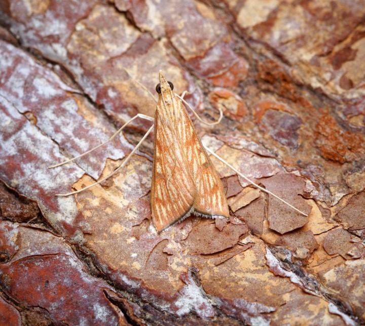 Antigastra catalaunalis 1 Copyright: Ben Sale