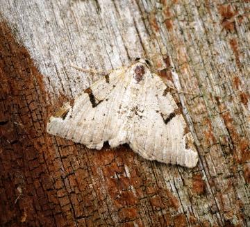 V-moth Copyright: Ben Sale