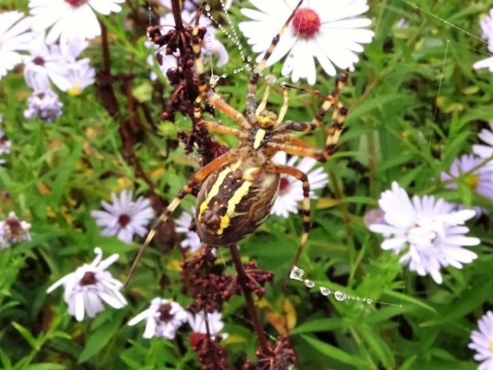 Wasp Spider - Underneath Copyright: Raymond Small