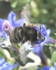 Anthophora plumipes Copyright: Brian Wadie