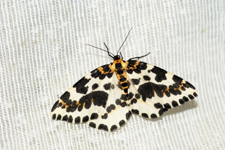 Magpie Moth 3 Copyright: Ben Sale