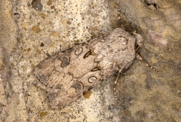 Turnip Moth 22-09-2020 Copyright: Bill Crooks