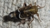 Dicranotropis hamata 2 Copyright: Raymond Small