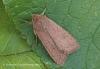Brick   Agrochola circellaris Copyright: Graham Ekins