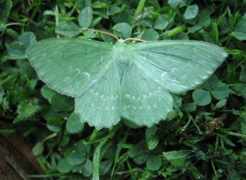 Large Emerald Copyright: Stephen Rolls