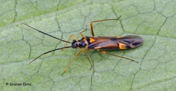 Cyllecoris histrionius Copyright: Graham Ekins