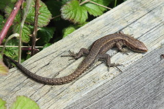Common Lizard Copyright: Peter Pearson