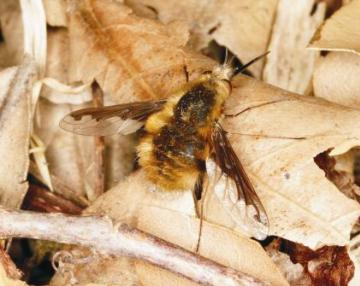 Bombylius major Copyright: Peter Harvey