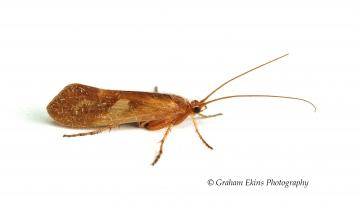 Limnephilus rhombicus Copyright: Graham Ekins