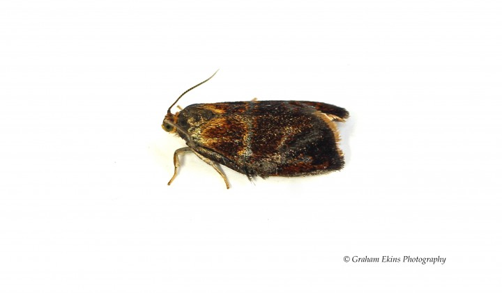 Ptycholoma lecheana 6 Copyright: Graham Ekins