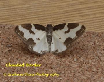 Clouded Border  Lomaspilis marginata Copyright: Graham Ekins