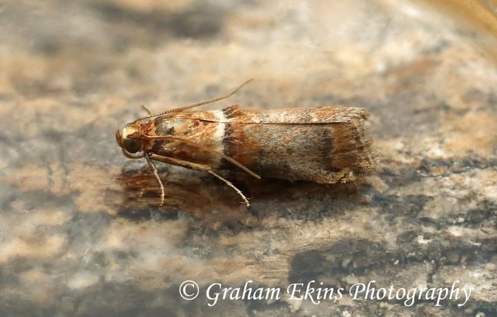 Acrobasis tumidana 4 Copyright: Graham Ekins