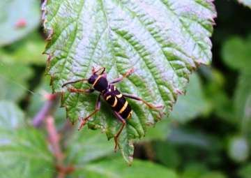 Wasp Beetle 2 Copyright: Graham Smith