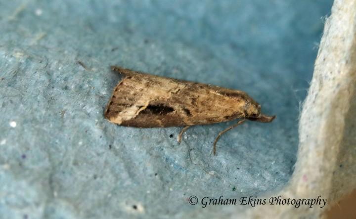 Pinion-streaked Snout  Schrankia costaestrigalis Copyright: Graham Ekins