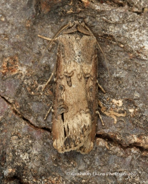 Dark Sword Grass  Agrotis ipsilon Copyright: Graham Ekins
