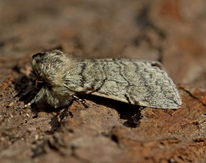 Yellow-horned Achlya flavicornis Copyright: Graham Ekins