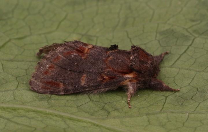 Iron Prominent  Notodonta dromedarius Copyright: Graham Ekins