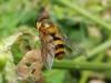 Epistrophe grossulariae male Copyright: Roger Payne