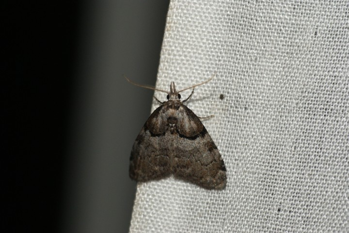 Short Cloaked Moth 2 Copyright: Ben Sale