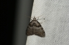 Short Cloaked Moth 2 Copyright: Ben Sale