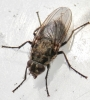 Pollenia vagabunda female 2 Copyright: Rosemary Stephens