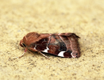 White-spotted Pinion Copyright: Ben Sale