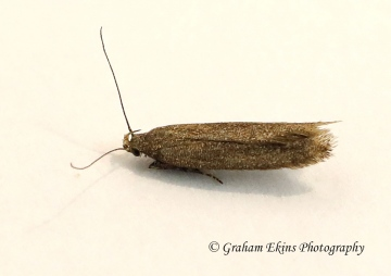 Scrobipalpa acuminatella 4 GD Copyright: Graham Ekins