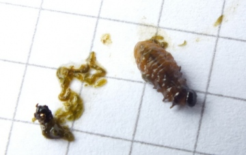 Unclothed Lily Beetle Grub Copyright: Peter Pearson