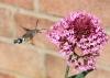 Humming bird lookalike Copyright: Sue Grayston