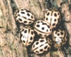 Tytthaspis sedecimpunctata Copyright: Paul Mabbott