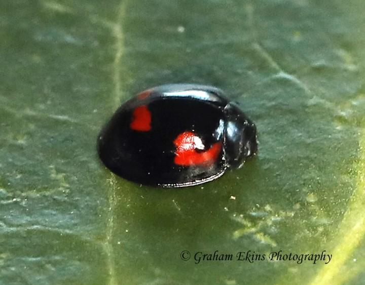 Exochomus quadripustulatus 4 Copyright: Graham Ekins