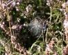 Argiope bruennichi (underside) Copyright: Robert Smith