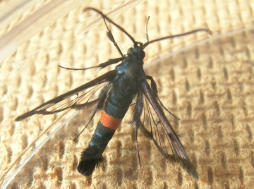 Synanthedon myopaeformis Red-belted Clearwing moth Copyright: Barry Ruggles