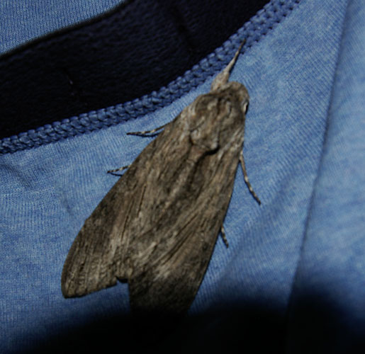 Convolvulus Hawk-Moth Copyright: M Jackson Bridge