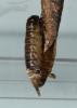 Taleporia tubulosa female Copyright: Peter Furze