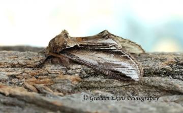 Pheosia tremula  Swallow Prominent Copyright: Graham Ekins