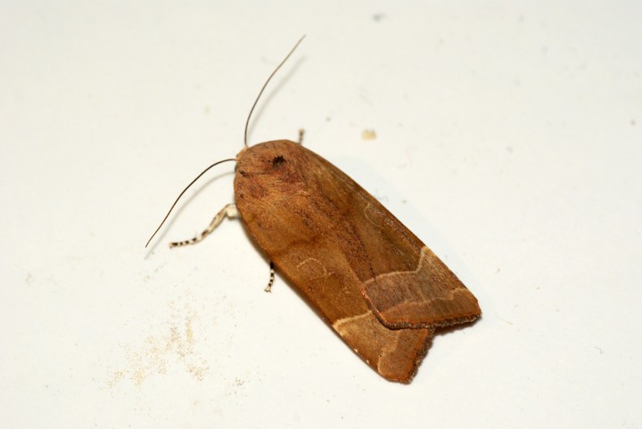 Broad-bordered Yellow Underwing Copyright: Ben Sale