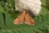 Endotricha flammealis 2 Copyright: Graham Ekins