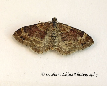 Xanthorhoe spadicearia Red Twin-spot Carpet 6 Copyright: Graham Ekins