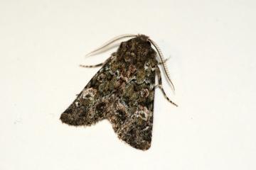 Feathered Ranunculus 3 Copyright: Ben Sale
