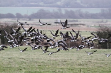 Brent Geese in flight Copyright: Graham Smith