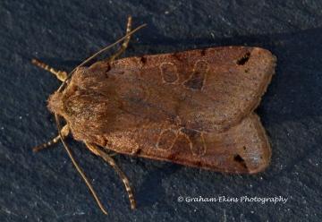 Brown-spot Pinion   Agrochola litura Copyright: Graham Ekins