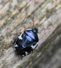 Rambur's pied shieldbug Copyright: Yvonne Couch