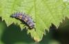 Coccinella septempunctata larva Copyright: Yvonne Couch