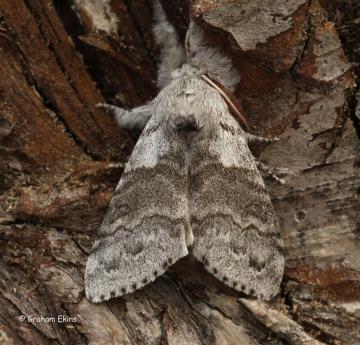 Pale Tussock   Calliteara pudibunda Copyright: Graham Ekins