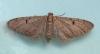 Ochreous Pug  Eupithecia indigata Copyright: Graham Ekins