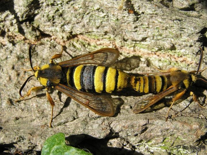 Hornet Moths mating Copyright: Ben Sale