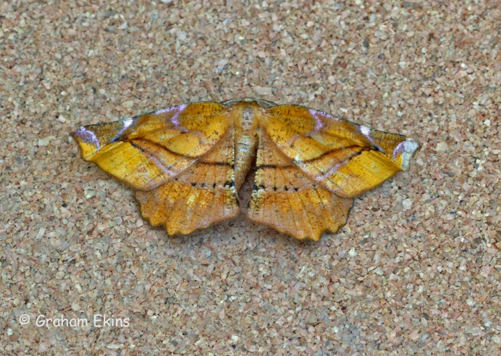 Apeira syringaria Lilac Beauty Copyright: Graham Ekins