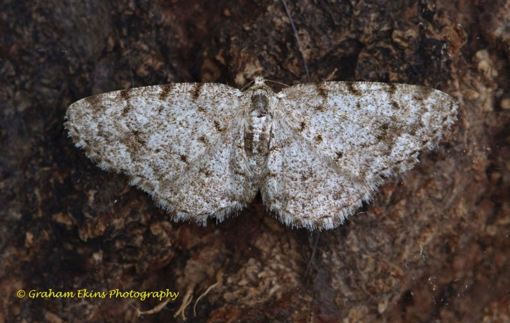 Aethalura punctulata   Grey Birch 2 Copyright: Graham Ekins